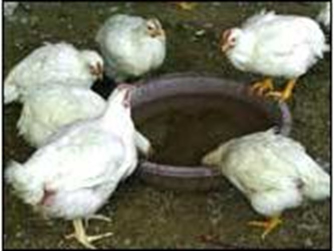 Kuş gribi aşısı geliştiriliyor